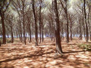 Vandring gennem fyrreskove