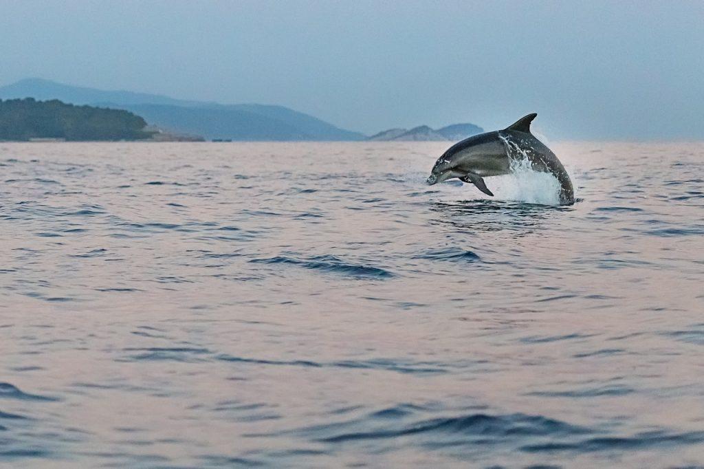 Delfin i Middelhavet