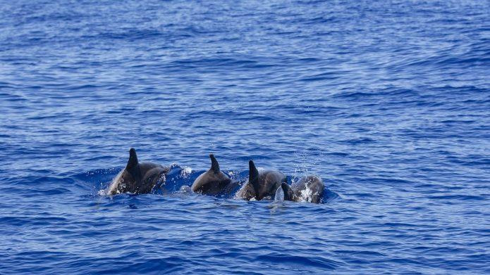 Dolphins Atlantic La Palma