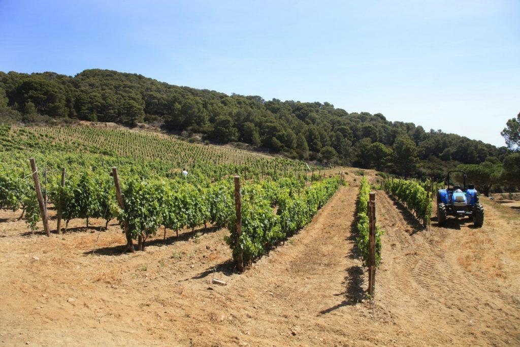 Weinanbau auf Gorgona