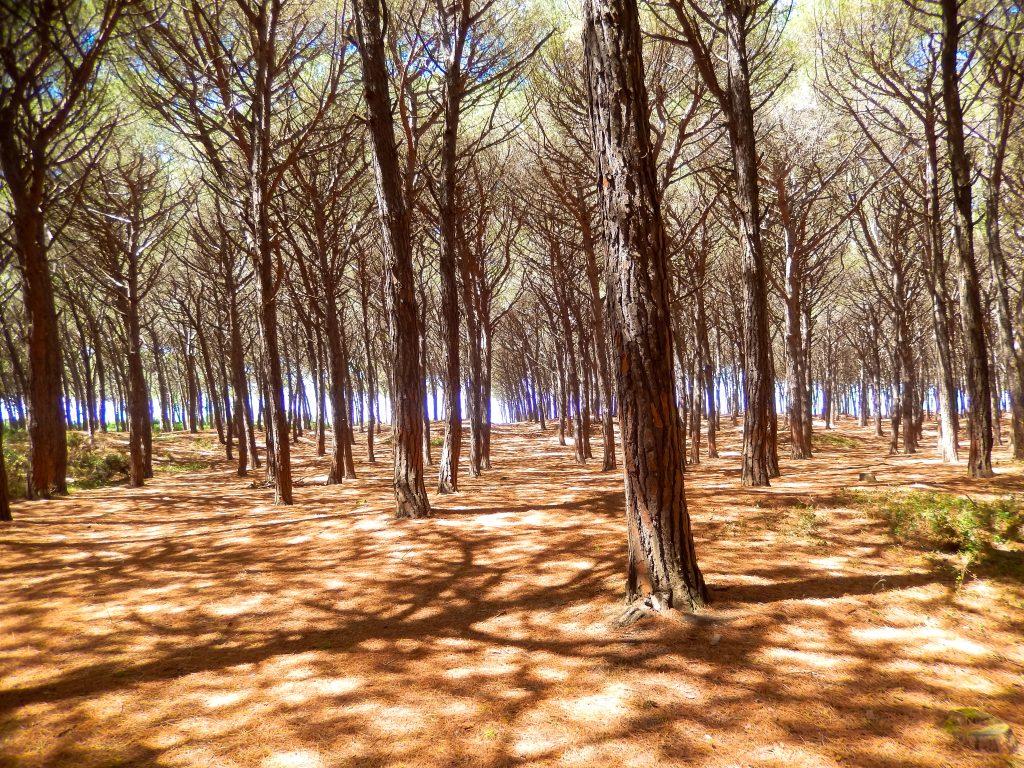 Pinienwald an der Küste